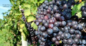 grapes, job opp, vineyards, wineries