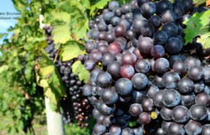 Grapes in a vineyard on the Old Mission Peninsula | Jane Boursaw Photo
