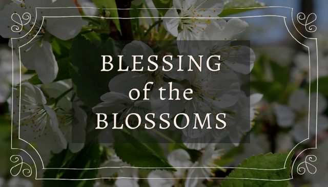 blessing of the blossoms, chateau chantal, blossoms, cherry blossoms