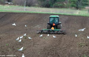 edmondson orchards, seagulls, dave edmondson, farming