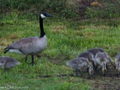 canada geese, goslings, bluff road