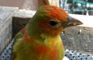 birds, summer tanager, birds, birds of old mission, birds of northern michigan