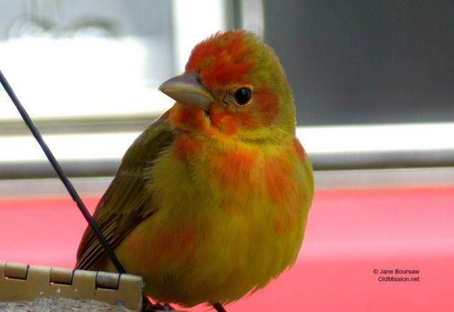 birds, summer tanager, birds, birds of old mission, birds of northern michigan