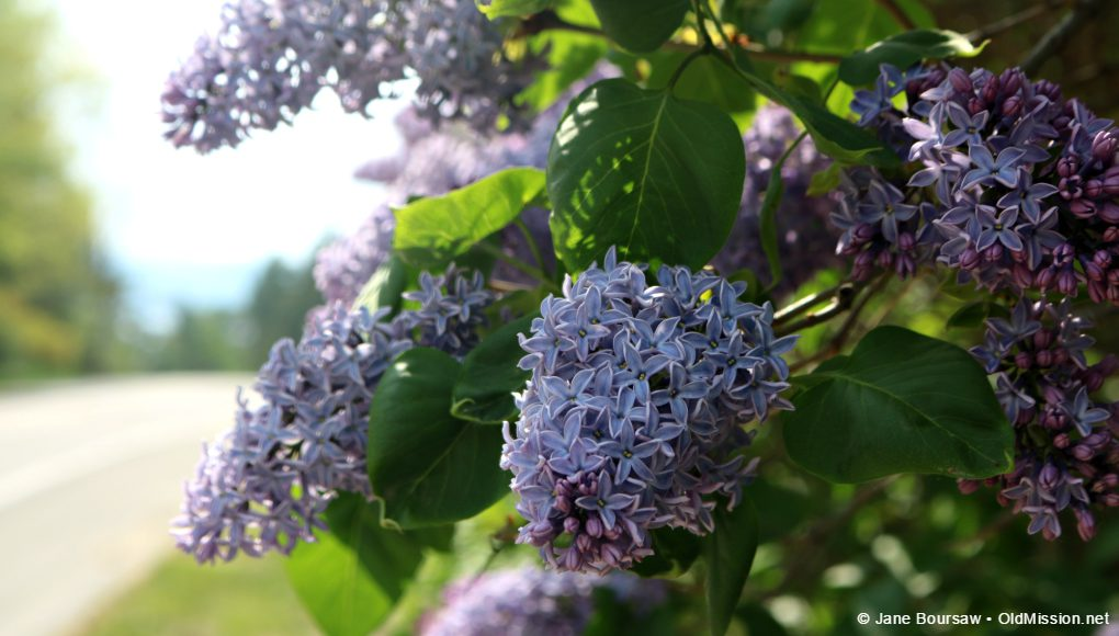 lilacs, mckinley road, old mission peninsula