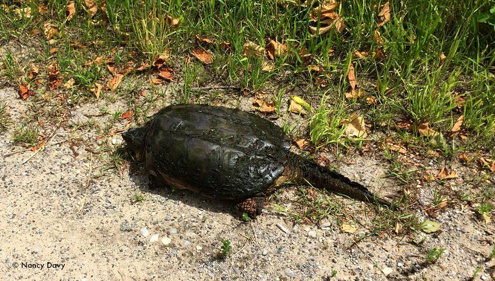 turtle, neahtawanta road, old mission peninsula, old mission