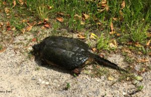 turtle, neahtawanta road, old mission peninsula, old mission