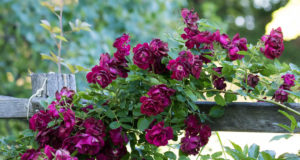 old mission peninsula, old mission michigan, roses, old mission, boursaw farmhouse, boursaw