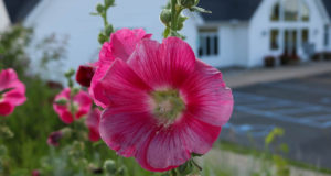 hollyhocks, old mission peninsula, monnie peters, peninsula township, stella johnson, old mission michigan, old mission, michigan, traverse city