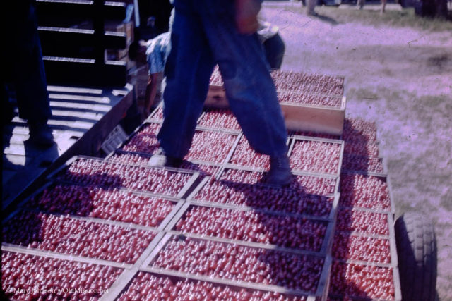 mexicans, migrant workers, cherries, cherry harvest, mexican migrant workers, h2a program, walter johnson, johnson farms, crescent hill fruit farm