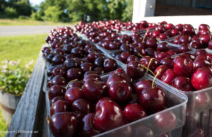 johnson farms, national cherry festival, cherries, sweet cherries, tart cherries, old mission peninsula, old mission michigan