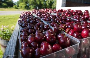 johnson farms, national cherry festival, cherries, sweet cherries, tart cherries, old mission peninsula, old mission michigan