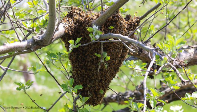 honey bees swarming, johnson farms, old mission peninsula, old mission, old mission michigan, old mission gazette, bees, bee swarms