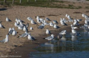 haserot beach, gulls, seagulls, old mission peninsula, old mission, old mission michigan, michigan, old mission gazette, peninsula township