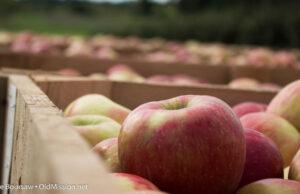 honey crisp apples, apples, johnson farms, old mission peninsula, omp, fall festival, harvest dinner, old mission gazette, old mission, old mission michigan, peninsula township