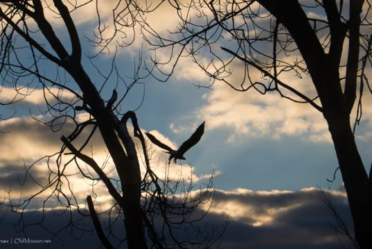 eagle, bald eagle, east bay, east grand traverse bay, old mission peninsula, old mission, old mission michigan, peninsula township, birds of old mission peninsula, old mission gazette