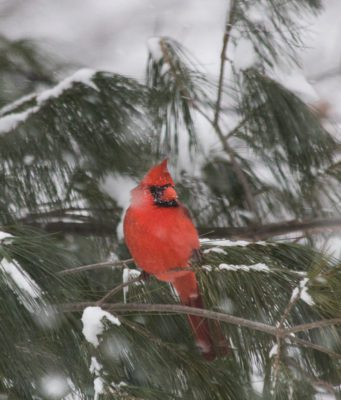 cardinals, angels, winter, evergreens, old mission peninsula, old mission, old mission michigan, peninsula township, pure michigan, old mission gazette, old mission news