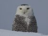 snowy owl, birds of old mission peninsula, old mission peninsula, old mission, old mission michigan, old mission gazette, northwest michigan, peninsula township, chateau grand traverse, writing, entrepreneur, business