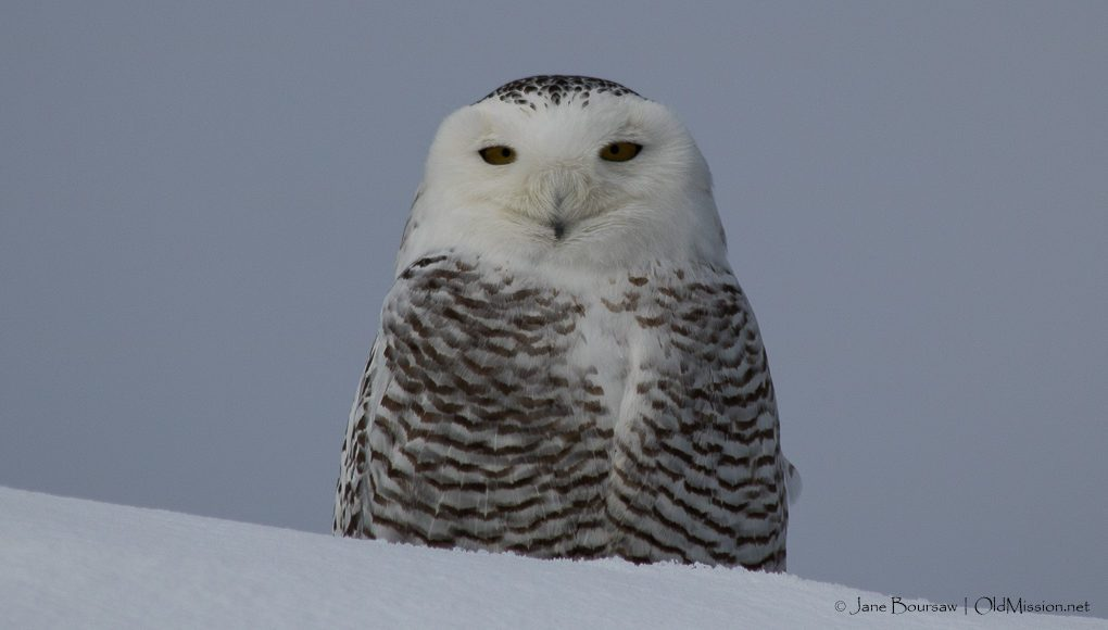 snowy owl, birds of old mission peninsula, old mission peninsula, old mission, old mission michigan, old mission gazette, northwest michigan, peninsula township, chateau grand traverse