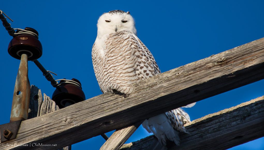 snowy owl, birds of old mission peninsula, old mission peninsula, old mission, old mission michigan, old mission gazette, northwest michigan, peninsula township, brys estate, blue water road, nancy heller