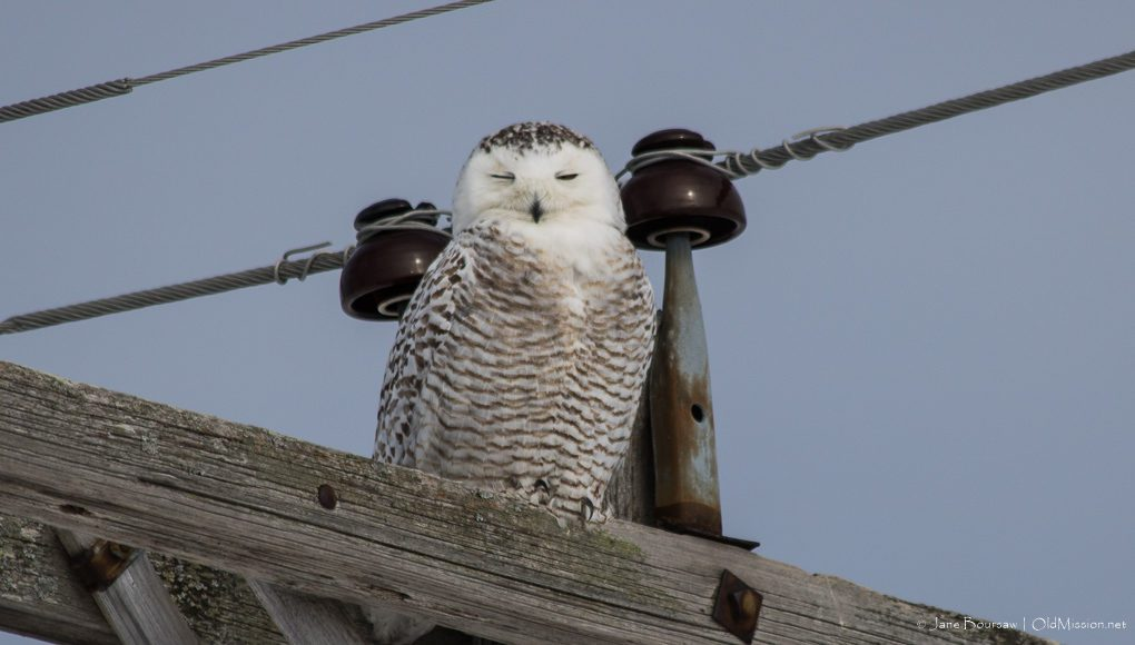 snowy owl, blue water road, old mission peninsula, old mission, old mission michigan, old mission gazette, peninsula township, birds of old mission peninsula, old mission news