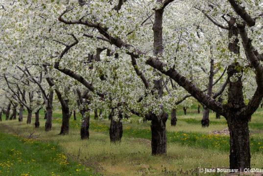 true confessions, cherry blossoms, johnson farms, old mission peninsula, old mission, old mission michigan, old mission gazette, old mission news