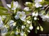 blossoms, cherry blossoms, sweet cherry blossoms, old mission blossoms, old mission peninsula, omp, old mission, old mission news, old mission michigan, peninsula township, blessing of the blossoms, old mission gazette