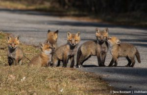 fox, baby fox, old mission wildlife, old mission, old mission michigan, peninsula township, old mission gazette, old mission photos