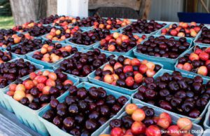 sweet cherries, tart cherries, johnson farms, old mission peninsula, omp, old mission, old mission michigan, old mission cherries, old mission news, old mission gazette, peninsula township