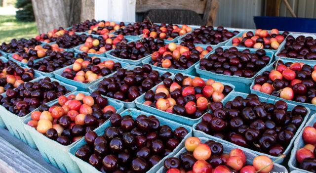 sweet cherries, tart cherries, johnson farms, old mission peninsula, omp, old mission, old mission michigan, old mission cherries, old mission news, old mission gazette, peninsula township