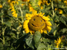 maple bay natural area, grand traverse regaional land conservancy, old mission peninsula, old mission gazette, old mission, old mission michigan, northwest michigan, sunflowers, sunflower fields, happy sunflowers