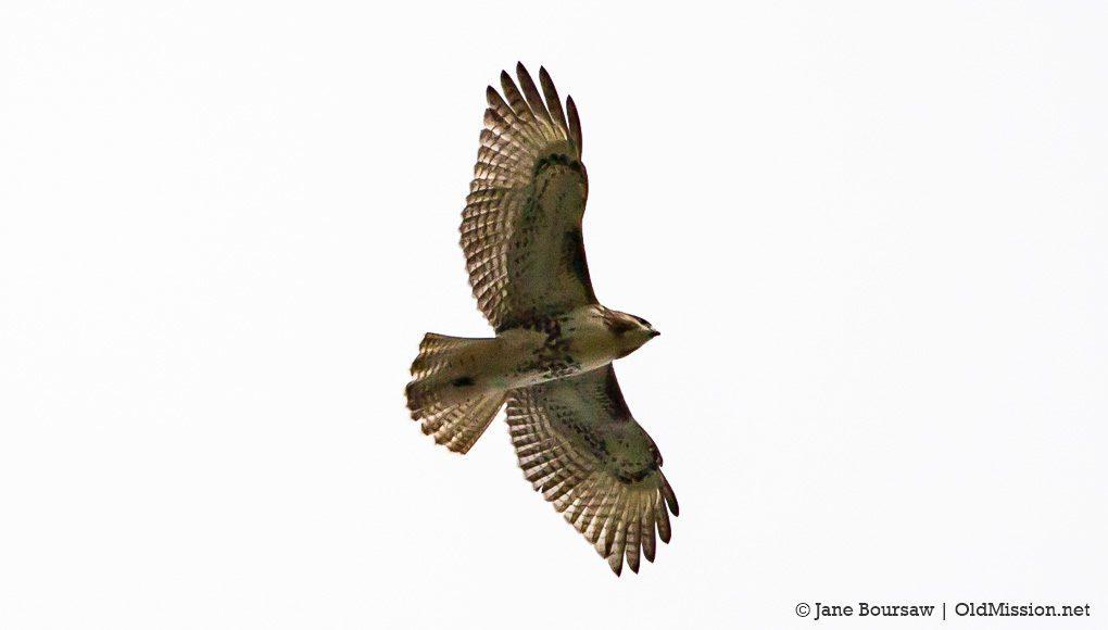 hawk, red-tailed hawk, cooper's hawk, dump, old mission gazette, northern michigan birds, eagle, old mission peninsula, birds of old mission peninsula, peninsula township