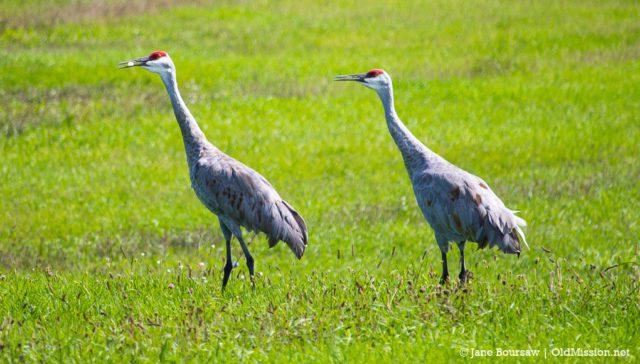 sandhill cranes, old mission gazette, old mission peninsula, birds of old mission peninsula, peninsula township, old mission, old mission michigan, brinkman road, birds of northwest michigan