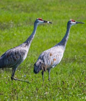sandhill cranes, old mission gazette, old mission peninsula, birds of old mission peninsula, peninsula township, old mission, old mission michigan, brinkman road, birds of northwest michigan
