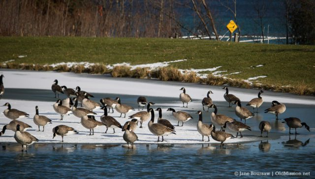 bluff road, mission hills, geese, old mission gazette, old mission peninsula, old mission, old mission michigan, pure michigan, peninsula township