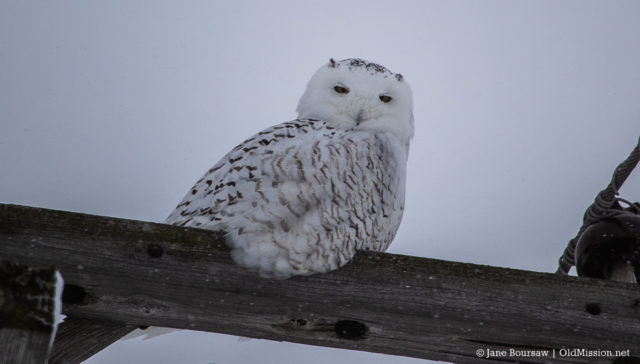 Snowy Owl on the Old Mission Peninsula