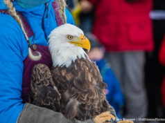 Wings of Wonder Eagle Release at Suttons Bay High School, Feb. 10, 2019