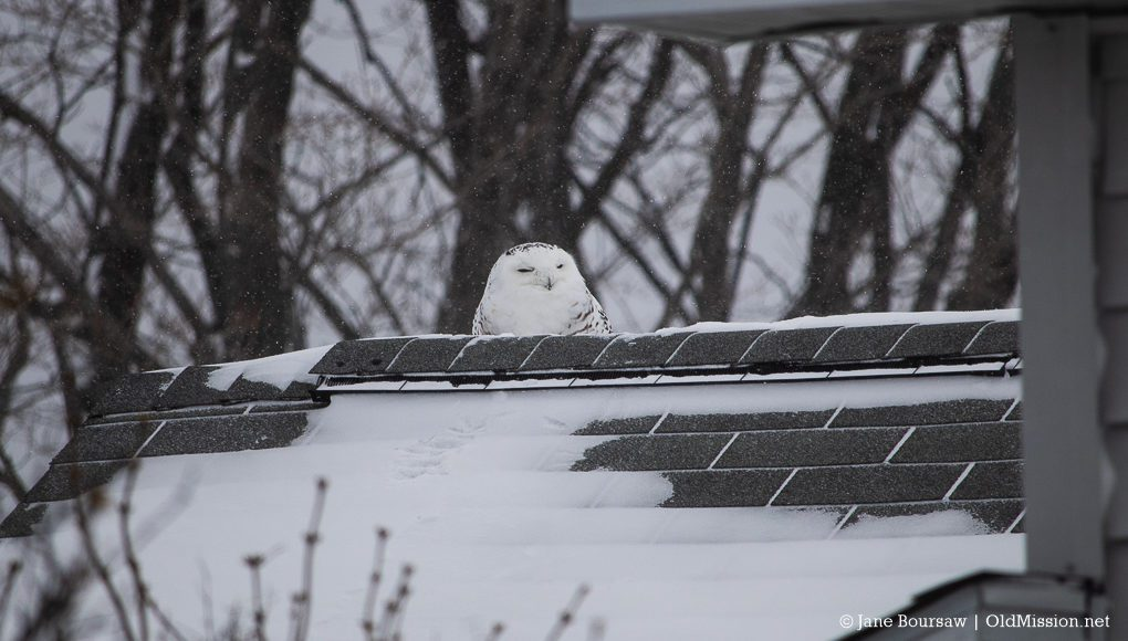 Snowy Owl on the Carroll House near Chateau Grand Traverse on Old Mission Peninsula