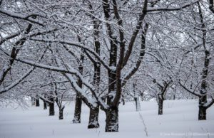 Frosted Cherry Trees at Johnson Farms on the Old Mission Peninsula