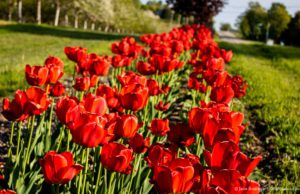 Bern and Cheryl Kroupa Tulips on the Old Mission Peninsula