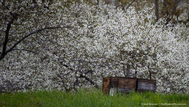 Johnson Farms Cherry Blossoms   Jane Boursaw Photo