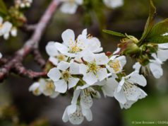 Sweet cherry blossoms on Johnson Farms on the Old Mission Peninsula