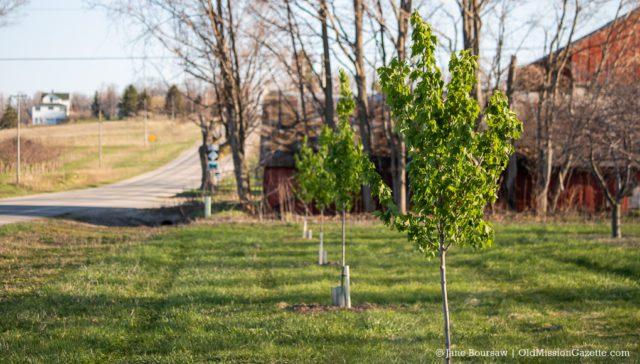 Old Mission Peninsula Historical Society plants trees on the Old Mission Peninsula