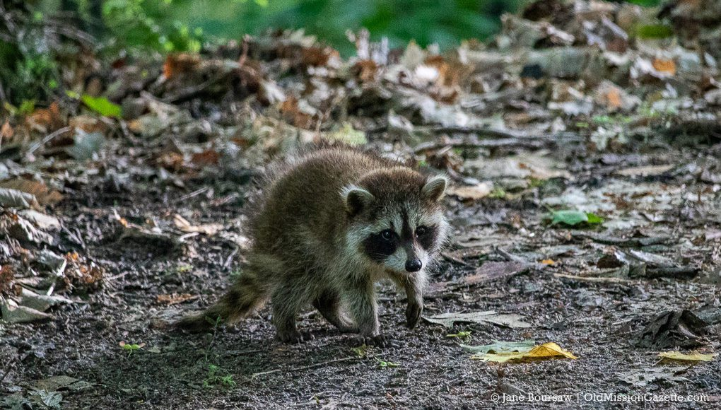 Baby Raccoon in the Driveway, Old Mission Peninsula