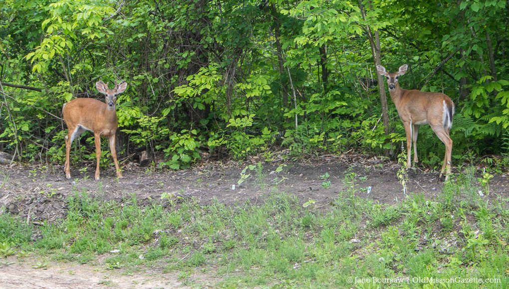 Deer in the Garden, Old Mission Peninsula
