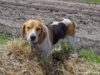 Sonny the Roaming Beagle from Wunsch Farms on the Old Mission Peninsula