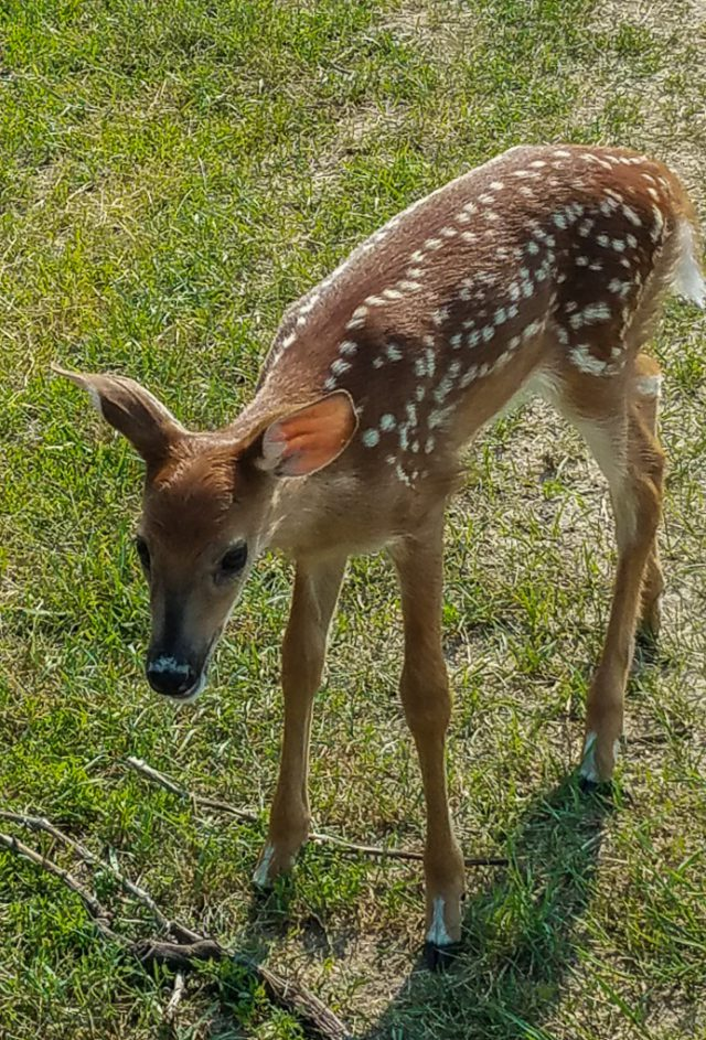 Fawn at Bowers Harbor Park on the Old Mission Peninsula
