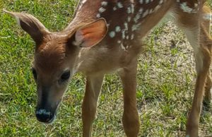 Baby Deer at Bowers Harbor Park on the Old Mission Peninsula | Linda Nelson Photo