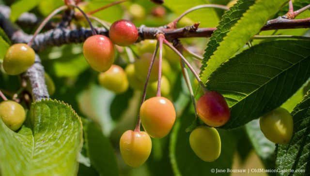 Cherries on Rocko Fouch's farm