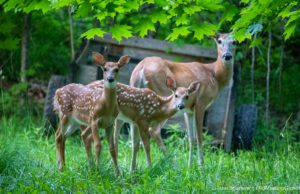 Deer and Fawns on the Old Mission Peninsula