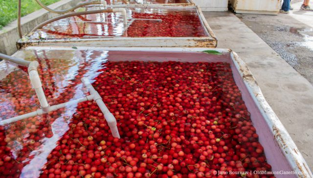 Tart cherries cooling at the Johnson Farms Cooling Pad on the Old Mission Peninsula